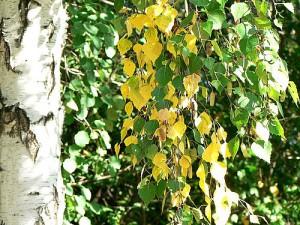 Осенняя берёза
